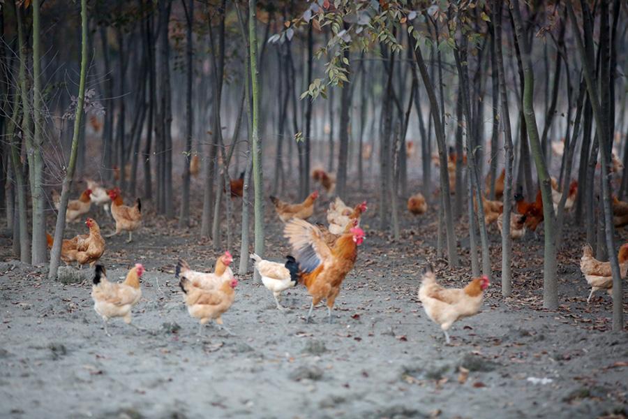 千赢国标草鸡生长基地